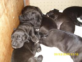 Foto 3 schwarze Deutsche Doggenwelpen