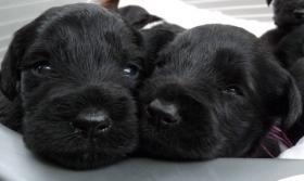 Foto 3 schwarze Zwergschnauzerwelpen