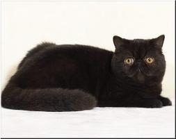 schwarzer Exotic Shorthair / Kurzhaar Perser Traumkaterle mit Pap.