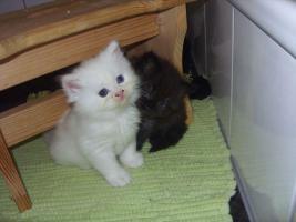 Foto 2 schwarzes PerserBaby mit Nase