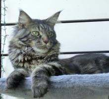sehr typvoller großer Maine Coon Kater