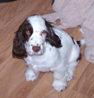seltene braun weiss english Cocker Spaniel