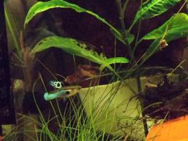 seltene japan-blaue Guppy-Wildform abzugeben