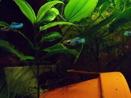 Foto 2 seltene japan-blaue Guppy-Wildform abzugeben