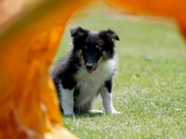 sheltie mit Papiere f�r agility oder andere sports