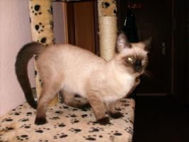 siam thai katze zu verkaufen