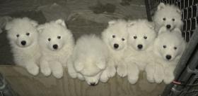 Foto 2 sibirischen Samojeden Welpen zu verkaufen
