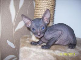 sphinx kitten