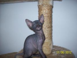 Foto 2 sphinx kitten