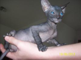 Foto 3 sphinx kitten