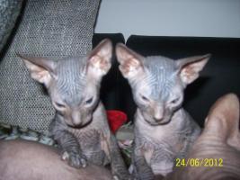 Foto 4 sphinx kitten