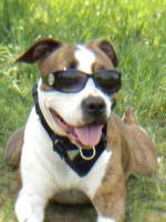 suche f�r meine staffordshire terrier h�ndin tara neues zuhause