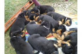 süß Rottweiler-babys mit ADRK-Papieren, Suchen Ein Neues Zuhause