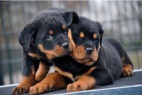 Foto 2 süß Rottweiler-babys mit ADRK-Papieren, Suchen Ein Neues Zuhause