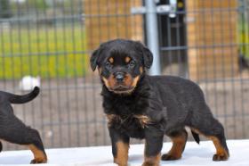 Foto 3 s�� Rottweiler-babys mit ADRK-Papieren, Suchen Ein Neues Zuhause