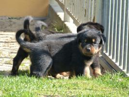 Foto 4 süß Rottweiler-babys mit ADRK-Papieren, Suchen Ein Neues Zuhause