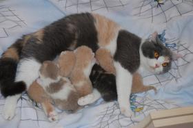 Foto 2 süße BKH Babies