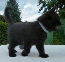 Foto 2 süße BKH Kitten in black und blue mit Stammbaum