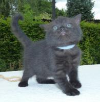Foto 3 süße BKH Kitten in black und blue mit Stammbaum