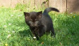 Foto 4 süße BKH Kitten in black und blue mit Stammbaum