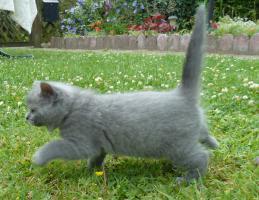 Foto 8 süße BKH Kitten in black und blue mit Stammbaum