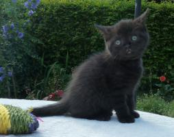 Foto 9 süße BKH Kitten in black und blue mit Stammbaum