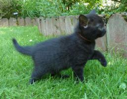 Foto 10 süße BKH Kitten in black und blue mit Stammbaum