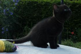 Foto 11 süße BKH Kitten in black und blue mit Stammbaum