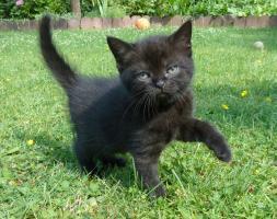 Foto 12 süße BKH Kitten in black und blue mit Stammbaum