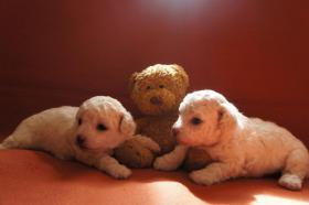 Foto 2 süße Bologneser - Zwerge suchen eine Familie zum liebhaben
