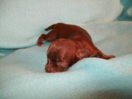 Foto 2 süße Chihuahua Choco-Welpen mit Papieren suchen ein neues zuhause
