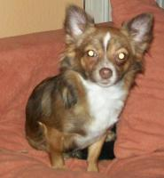 Foto 5 süße Chihuahua Choco-Welpen mit Papieren suchen ein neues zuhause