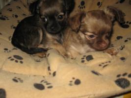 süsse Chihuahua  babys zu verk.