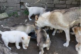 s��e Husky Welpen abzugeben 12 Wochen alt