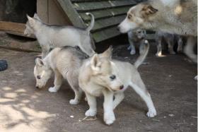 Foto 2 süße Husky Welpen abzugeben 12 Wochen alt