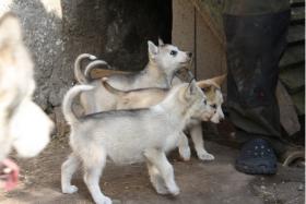 Foto 3 süße Husky Welpen abzugeben 12 Wochen alt