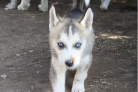 Foto 4 süße Husky Welpen abzugeben 12 Wochen alt