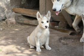 Foto 5 süße Husky Welpen abzugeben 12 Wochen alt