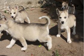 Foto 6 süße Husky Welpen abzugeben 12 Wochen alt