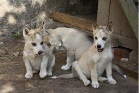 Foto 7 süße Husky Welpen abzugeben 12 Wochen alt
