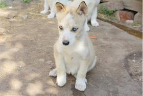 Foto 8 süße Husky Welpen abzugeben 12 Wochen alt