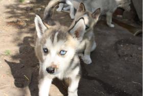 Foto 9 s��e Husky Welpen abzugeben 12 Wochen alt