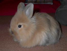 süße Kaninchenweibchen 6 Wochen jung