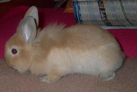 Foto 2 süße Kaninchenweibchen 6 Wochen jung