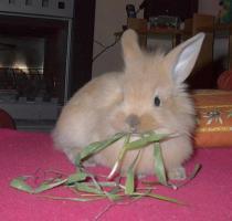 Foto 3 süße Kaninchenweibchen 6 Wochen jung