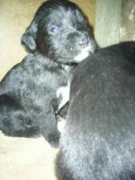 Foto 3 süße Labrador / Dalmatiner Welpen