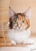 s��e Maine Coon Kitten suchen ein zu Hause