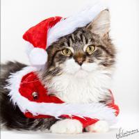 Foto 2 s��e Maine Coon Kitten suchen ein zu Hause