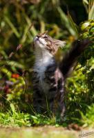 Foto 3 süße Maine Coon Kitten suchen ein zu Hause
