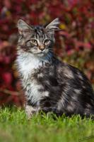 Foto 4 süße Maine Coon Kitten suchen ein zu Hause